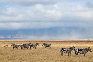 Zebras and antelope