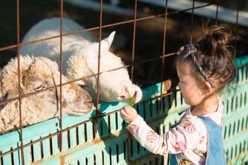 羊にエサを与える少女