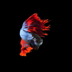 red fin siamese fighting betta fish full body and beautiful fin