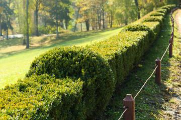 Beautiful boxwood shrubs in park