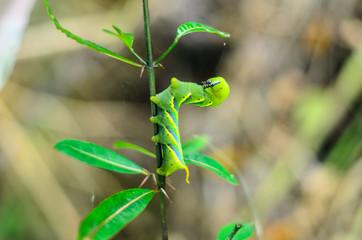 green caterpillar on treetop