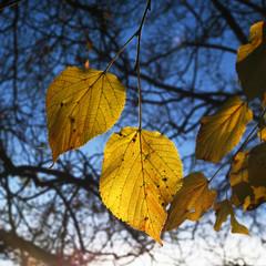 Gelbes Lindenblatt im Herbst