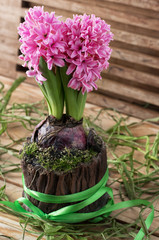 hyacinth flower in a flowerpot