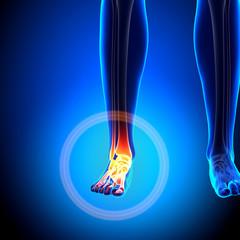 Female Ankle - Anatomy Bones