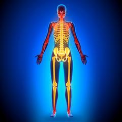 Female Full Skeleton - Anatomy Bones