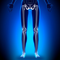 Female Legs - Anatomy Bones