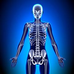 Female Skeleton - Anatomy Bones
