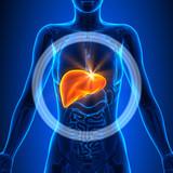 Liver - Female Organs - Human Anatomy - 73625681