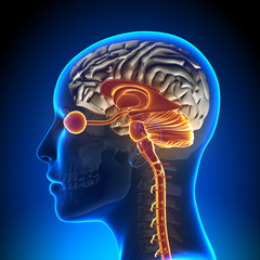 Brain Stem / Cerebellum / Optical Nerve / Female Brain Anatomy