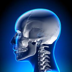 Female Skull / Cranium Anatomy