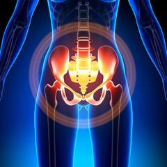 Female Hip / Sacrum / Pubis / Ischium / Ilium - Anatomy Bones