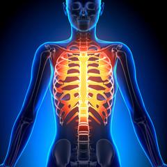 Female Rib Cage - Anatomy Bones