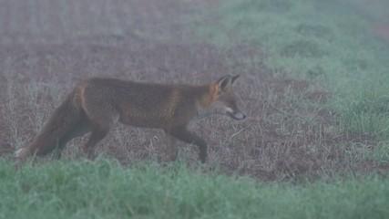 Fuchs - Rotfuchs