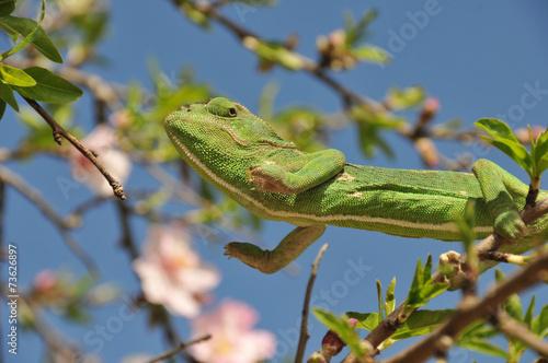 Fotobehang Kameleon Green Chameleon Jumping