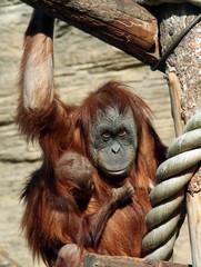 Female of Sumatran orangutan (Pongo abelii) with a baby