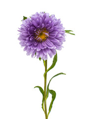 single purple aster