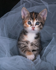 kitten playing with a cloth in the studio on a black background