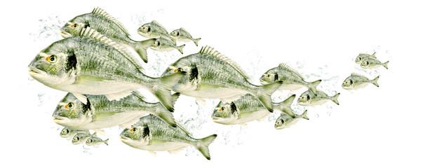 Fischschwarm, Dorade 0002