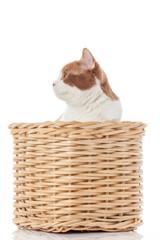 British kitten  in  box.  cute kitten on white background