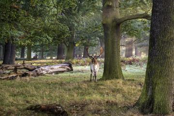 Mature fallow deer buck in forest on Autumn Fall morning landsca