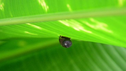 Baby snail creeps on the green leaf, close-up view.