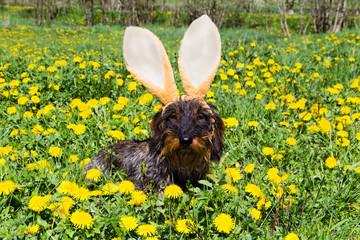 Osterhund im Löwenzahn