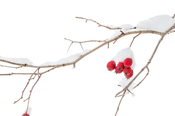 Twig with red berries in winter