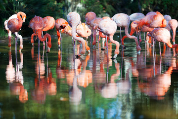 flamingos standing in water of pond