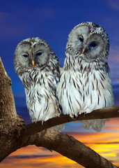 Two Great Grey Owls