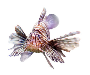 Red lionfish over white