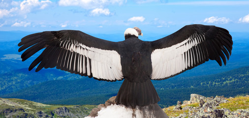 Andean condor  in wildness