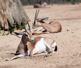 Gazelles on sand
