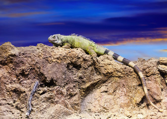 iguana on stone at wildness