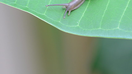 Snail creeps on the green leaf, close-up view. HD