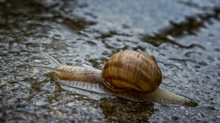 snail in the water