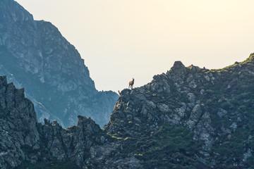 chamois on a ridge