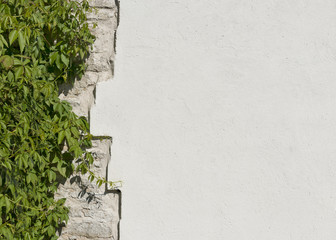 The old vintage limestone and white plastered wall which overgre
