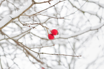 Branch with red berries in winter
