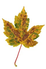 blatt_leaf_9