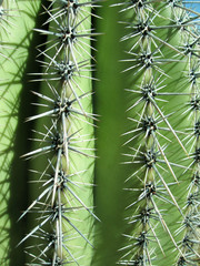Barrel cactus close up