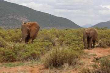 Elfanten in Afrika