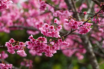 Branch with pink sakura blossoms