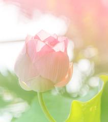 Pink lotus flower in sunshine day