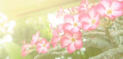 Impala lily - tropical flower