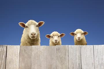 板塀越しに覗く親子の羊