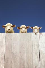 板塀越えに覗く子羊達