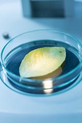 Green leaf under microscope.