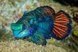 Dragonet mandarinfish in Banda, Indonesia underwater photo - 73642897