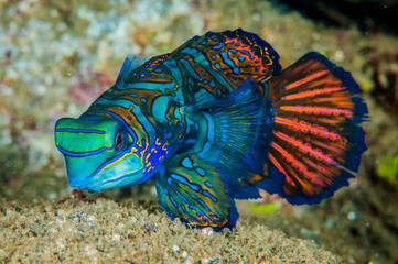 Dragonet mandarinfish in Banda, Indonesia underwater photo