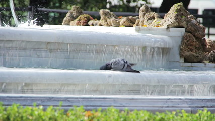 Dove bathed in the fountain of Summer Garden. St.Petersburg